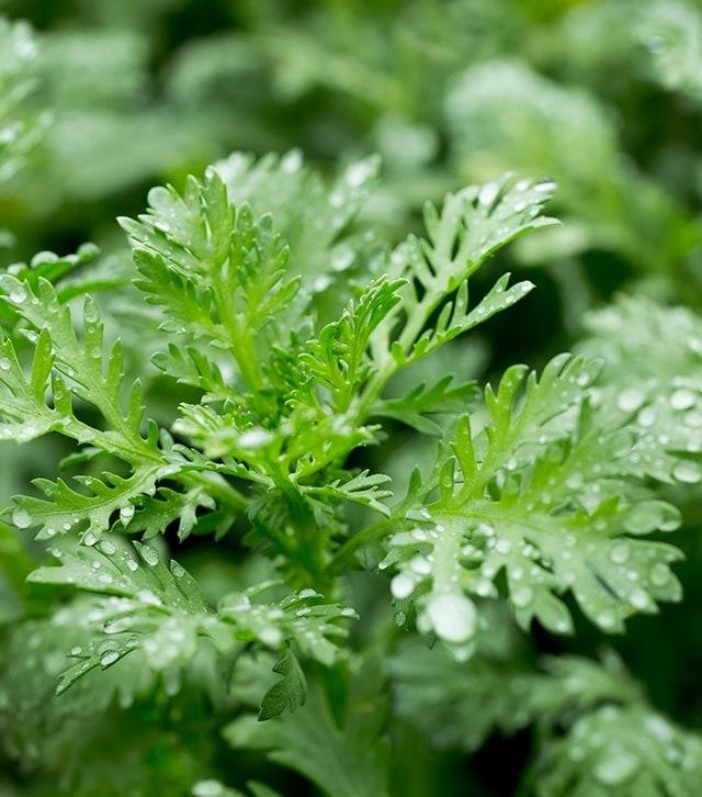 Chiết xuất ngải cứu và 6 loại thảo dược dịu nhẹ.